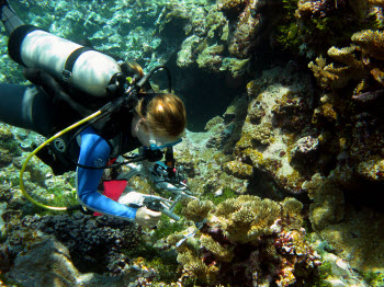 Diver measuring coral with calipers on Palmyra Atoll. Photograph by Stuart Sandin.